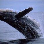 The Pacific rim whale festival in ucluelet